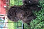 Female spanish water dog puppy | Puppy at 16 months of age for sale