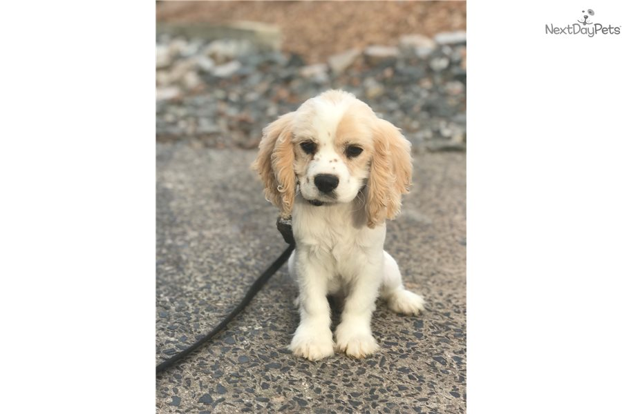 Chester Cavalier King Charles Spaniel Puppy For Sale Near Raleigh