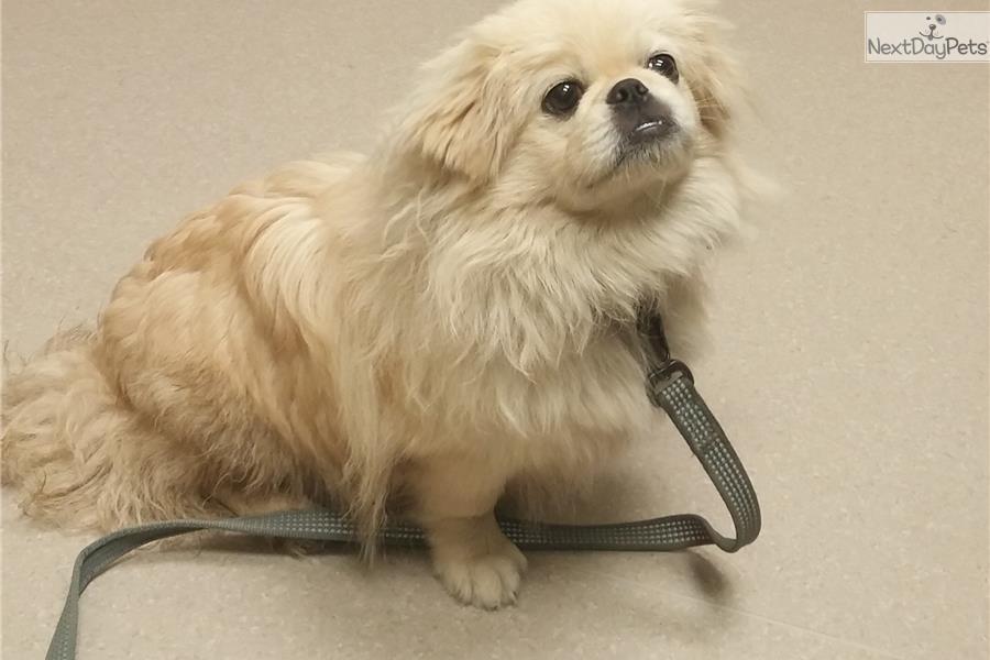 N.c. Pekingese Rescue Dash: Pekingese puppy ...
