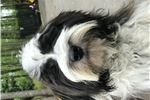 Picture of Scruffy - 6 Mo, Trained, AKC, vetted