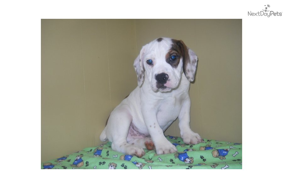 Beabull Puppy For Sale Near North Jersey New Jersey 24d175b9 E311