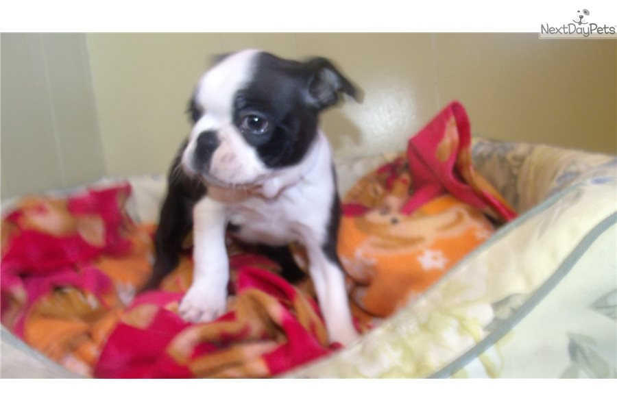 Boston Terrier Puppy For Sale Near North Jersey New Jersey