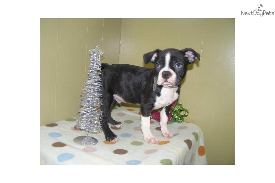 boston terrier for sale nj boston terrier puppy for sale near north jersey new 1921