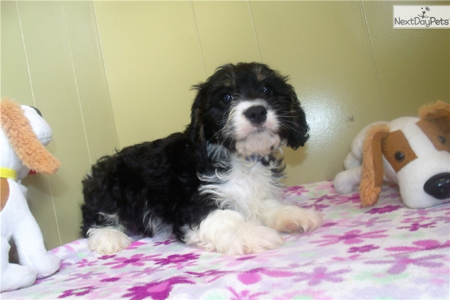 Cavapoo Puppy For Sale Near North Jersey New Jersey Dad8356b 4fd1