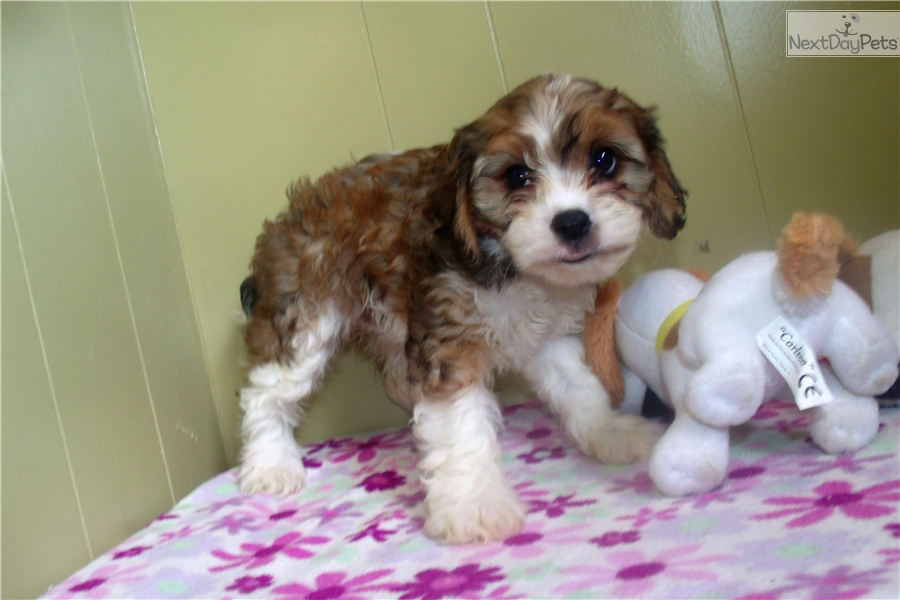 Cavapoo Puppy For Sale Near North Jersey New Jersey 91638561 Ec61