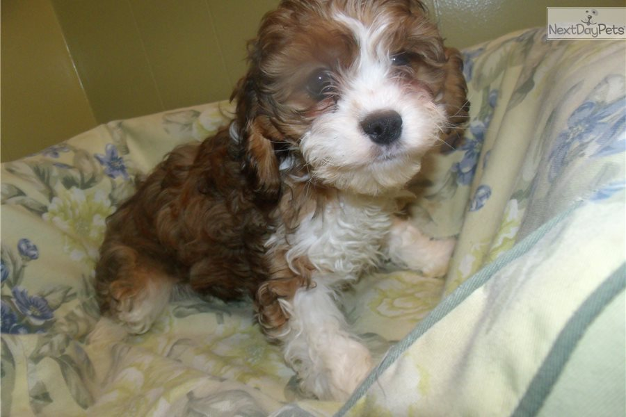Cavapoo Puppy For Sale Near North Jersey New Jersey 8f84b6d6 Dc71