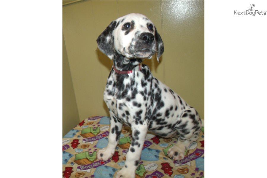 Sunrise: Dalmatian puppy for sale near North Dakota