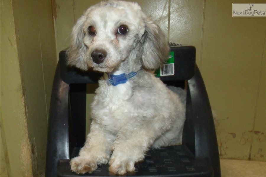 Obie Poodle Toy Puppy For Sale Near North Jersey New Jersey