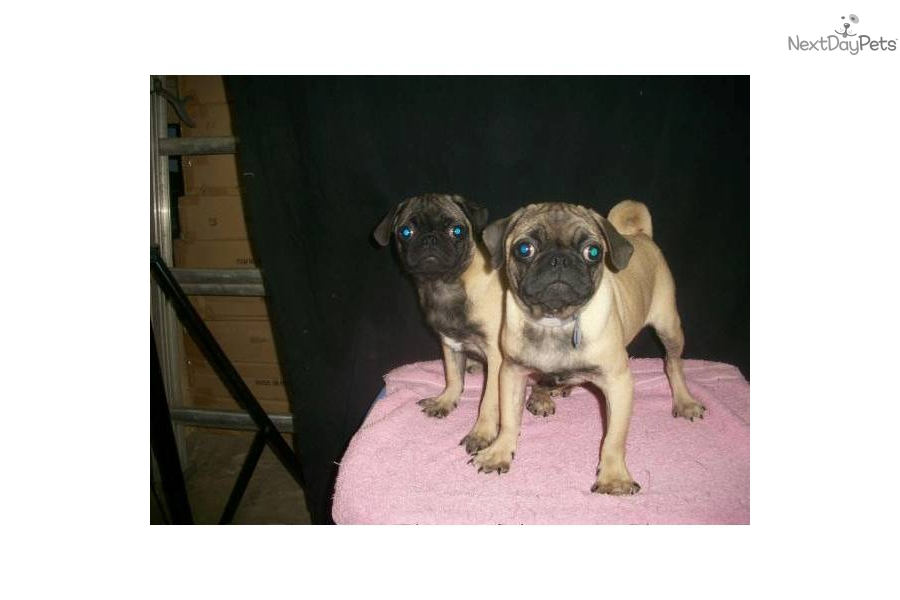 pug puppies for sale in nj meet m f available a cute pug puppy for sale for 550 3095