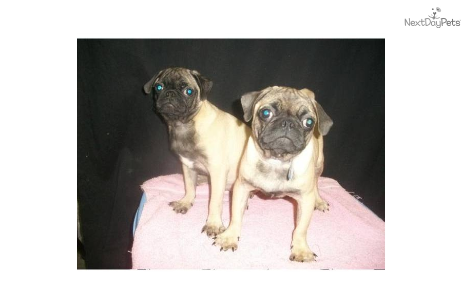 pug puppies for sale in nj meet m f available a cute pug puppy for sale for 550 1361