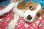 Picture of Bonita the beaglier