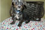 Picture of Kevin the Chorkie