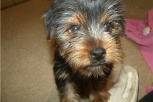 Picture of Rose the Yorkie