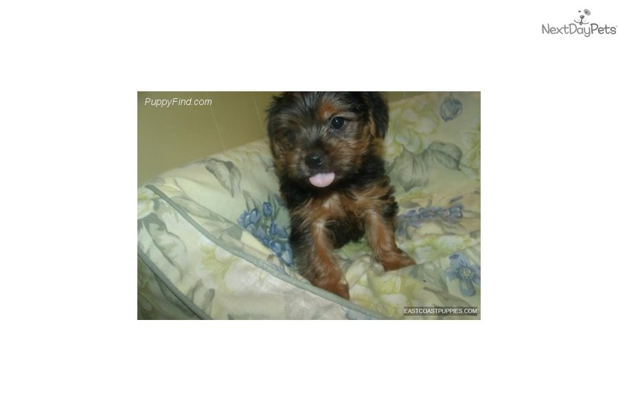 Yorkshire Terrier Yorkie Puppy For Sale Near North Jersey New