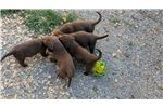 Large Dark Brown Chesapeake Bay Retriever Puppies  | Puppy at 15 weeks of age for sale