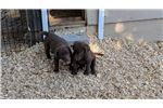 Picture of Large Dark Brown Chesapeake Bay Retriever Puppies