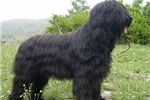 Featured Breeder of Briards with Puppies For Sale