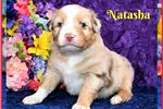DWA Red Merle Female