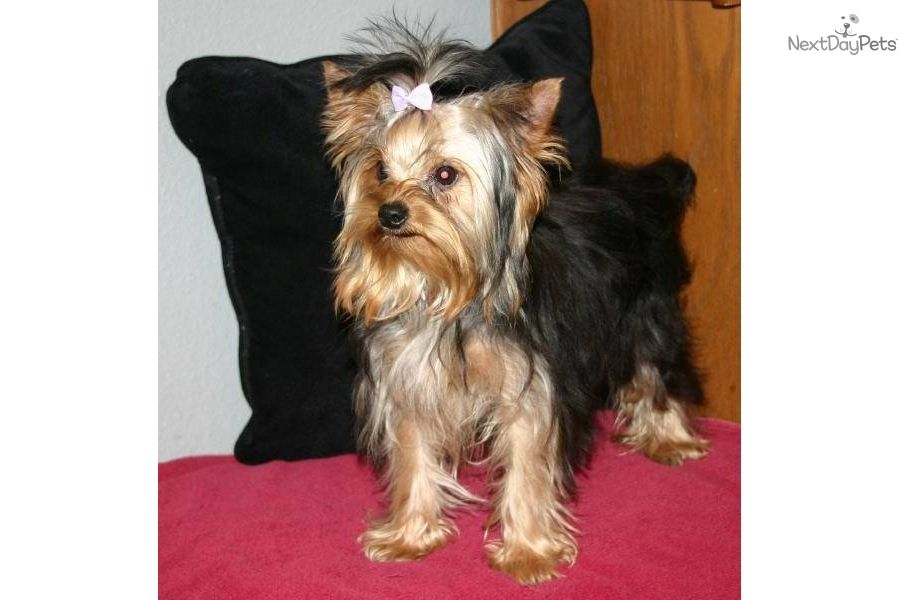 Yorkie Chase The 35 Pound Full Grown Dog Yorkshire Terrier ...