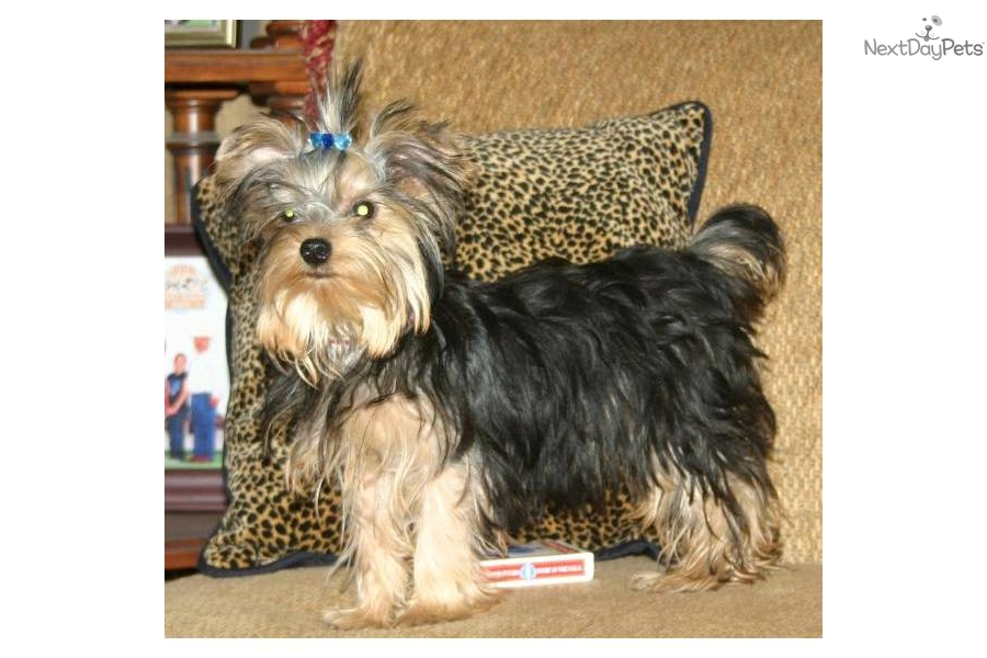 The gallery for --> Yorkie Full Grown Size