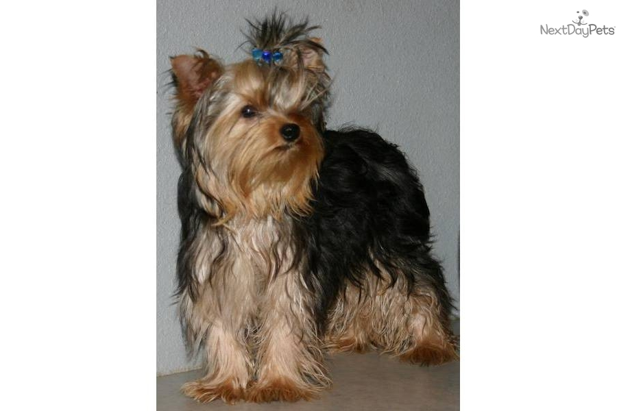 Pin Full Grown Yorkie on Pinterest
