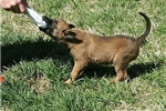 Featured Breeder of Belgian Malinois with Puppies For Sale