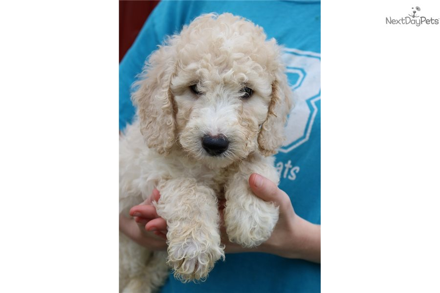 Mini Kingston Goldendoodle Puppy For Sale Near Joplin