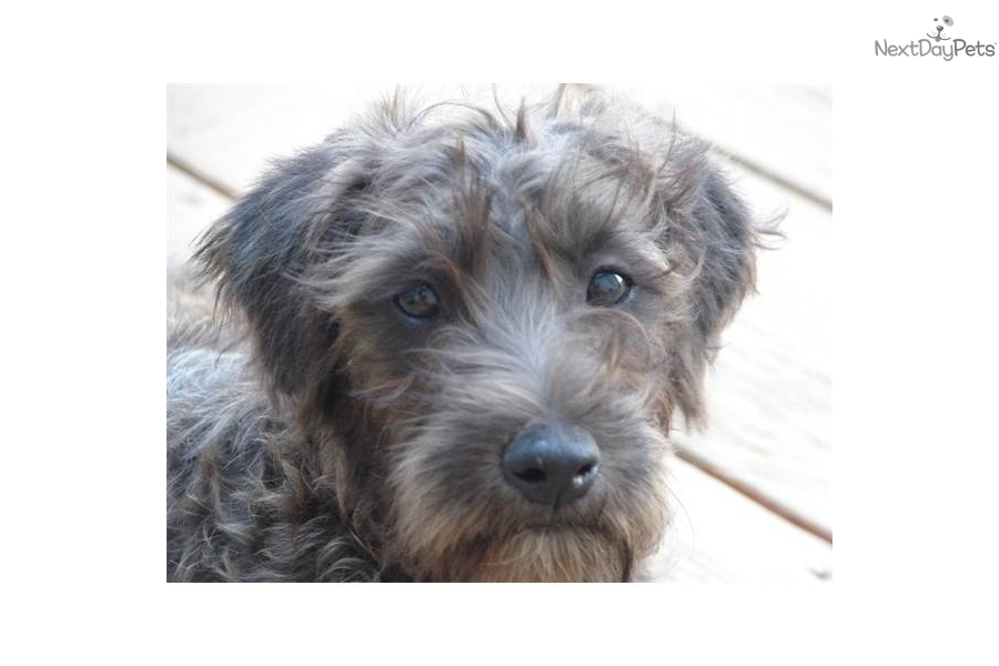 mini wheaten terrier soft coated wheaten terrier puppy for sale near joplin 9911