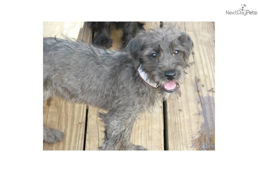 mini wheaten terrier soft coated wheaten terrier puppy for sale near joplin 9146