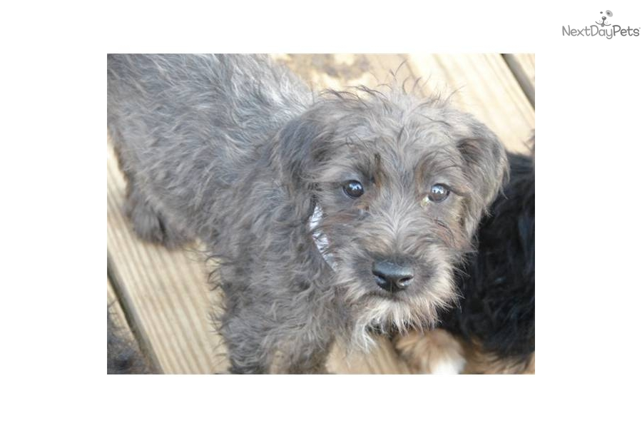 mini wheaten terrier soft coated wheaten terrier puppy for sale near joplin 8083