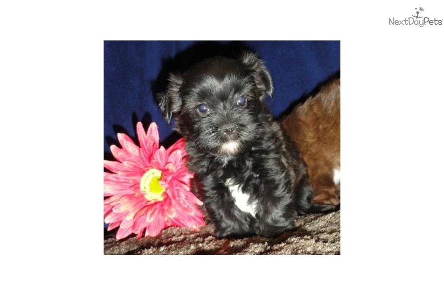 yorkie and shih tzu mix price shorkie shih tzu yorkie mix adorable yorkiepoo 8570