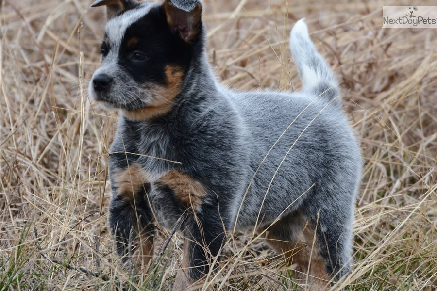 Ford Australian Cattle Dogblue Heeler Puppy For Sale Near Dallas