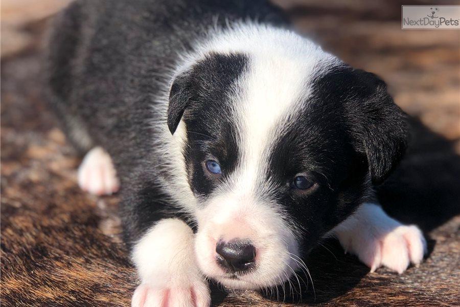 Border Collie Puppy For Sale Near Dallas Fort Worth Texas 1f541caa 4e01