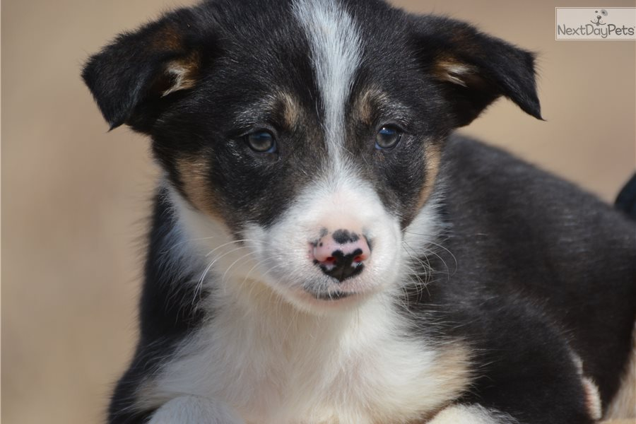 Border Collie Puppy For Sale Near Dallas Fort Worth