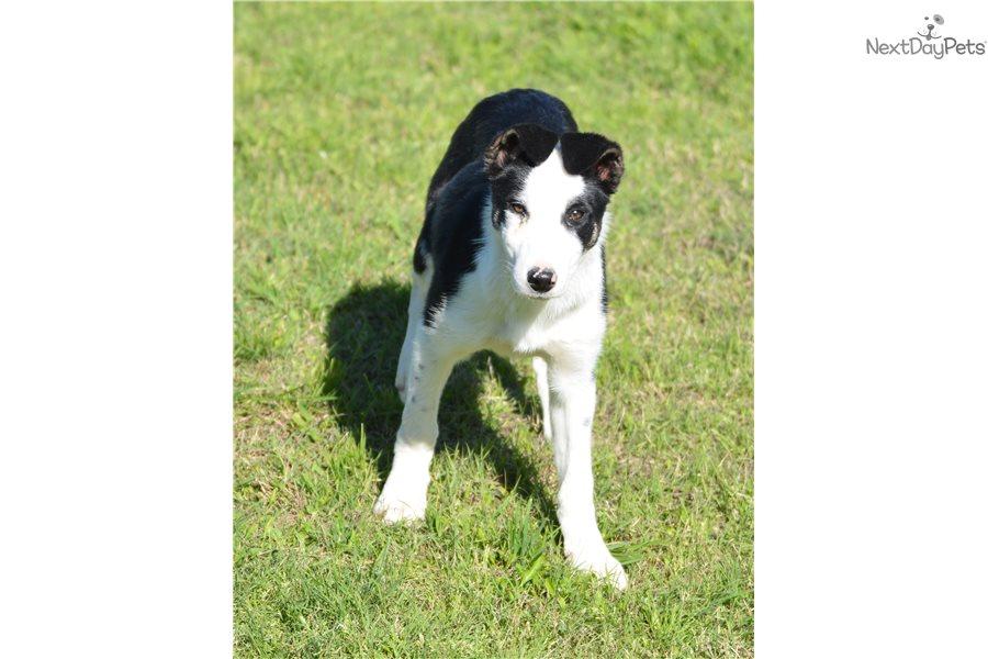Sky Border Collie Puppy For Sale Near Dallas Fort Worth Texas D65da768 C7c1