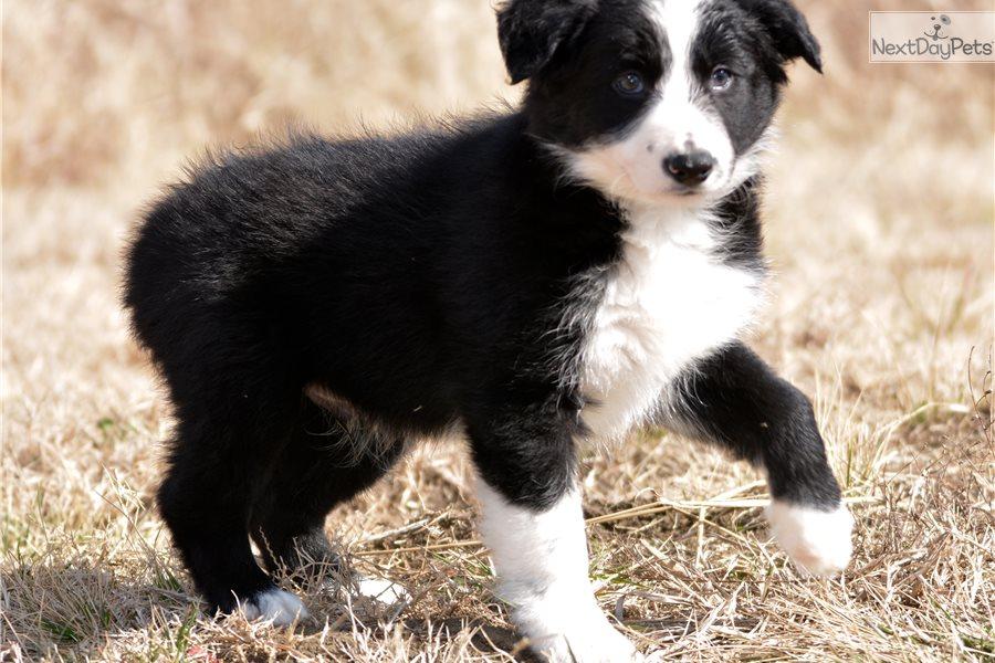 Border Collie Puppy For Sale Near Dallas Fort Worth Texas 122f451c 37e1
