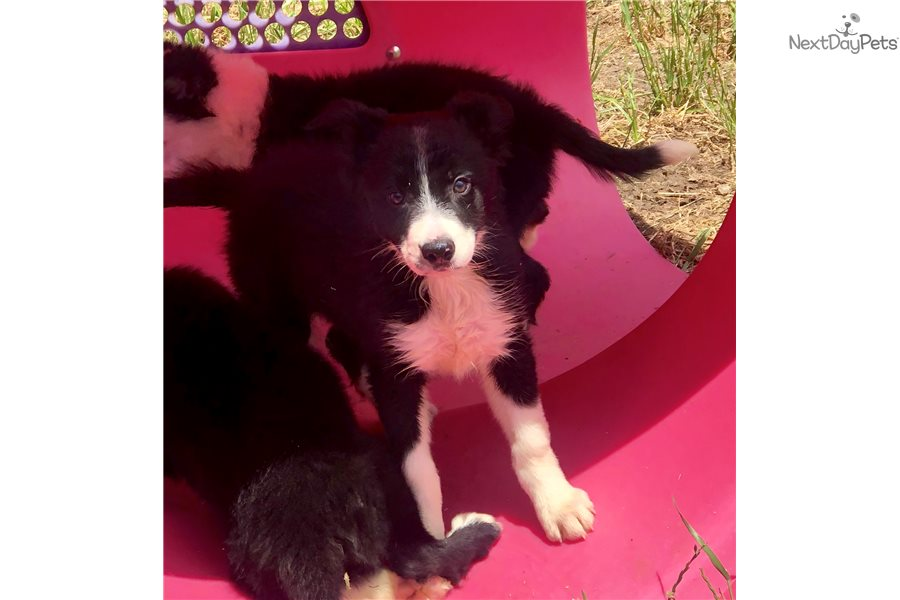 Border Collie Puppy For Sale Near Dallas Fort Worth Texas C97193c6 F951