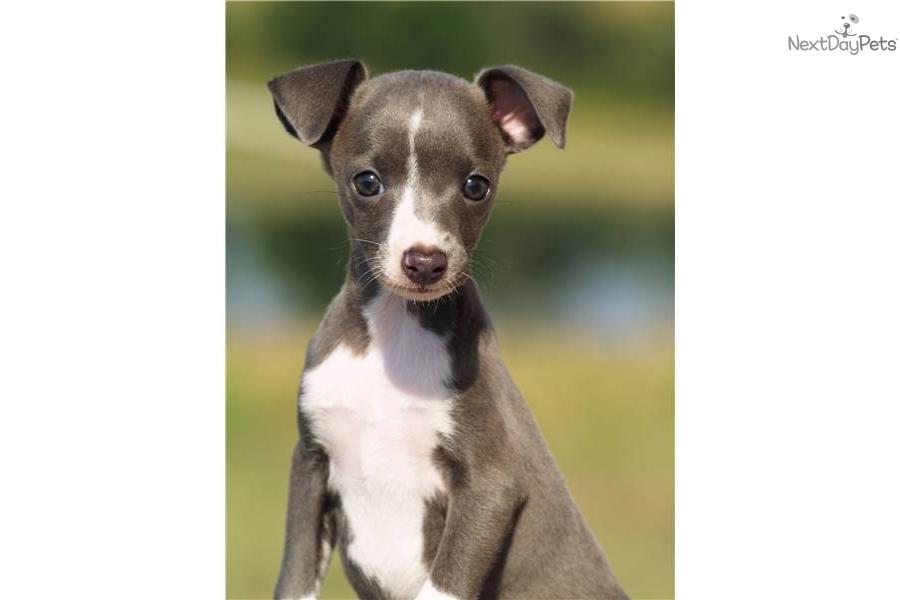 Italian Greyhound Puppy For Sale Near Texoma Texas