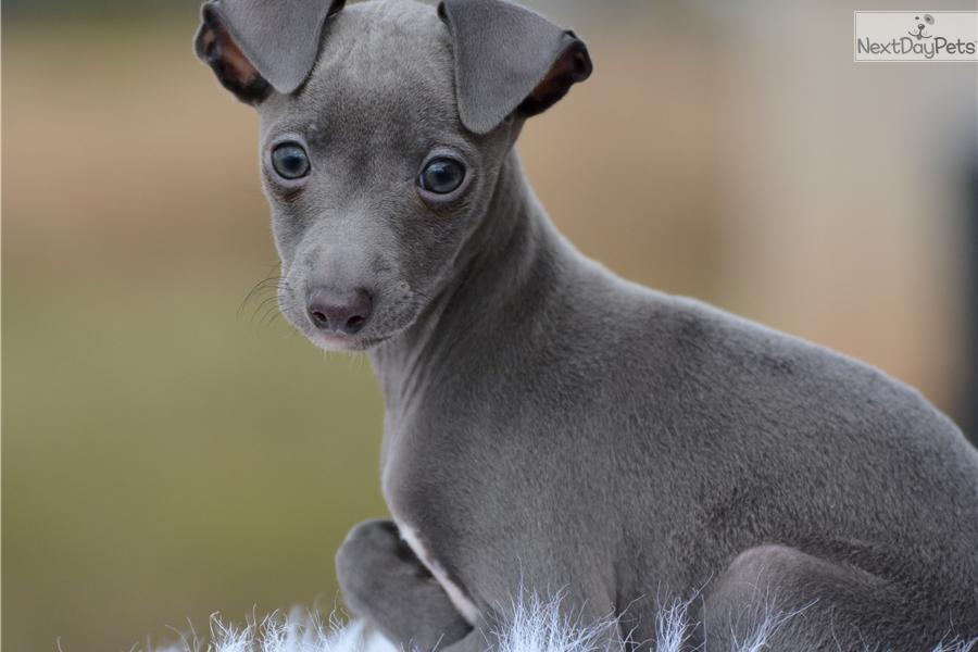 Hank: Italian Greyhound puppy for sale near Dallas / Fort ...