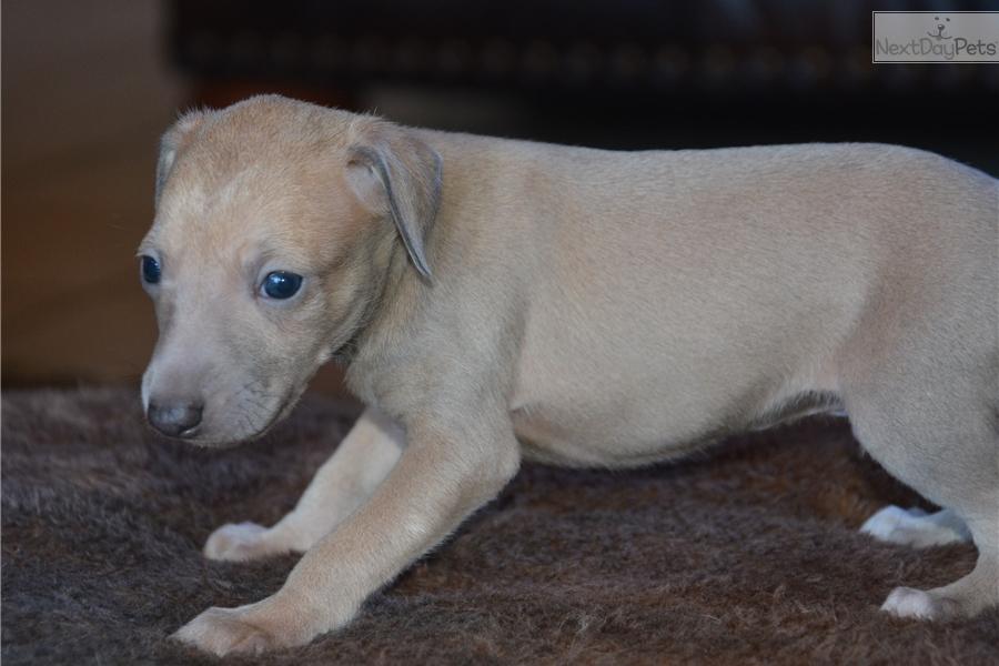 Italian Greyhound Puppy For Sale Near Dallas Fort Worth Texas 8e72d697 F521