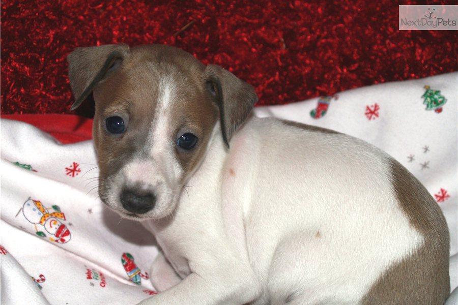 Italian Greyhound Puppy For Sale Near Dallas Fort Worth
