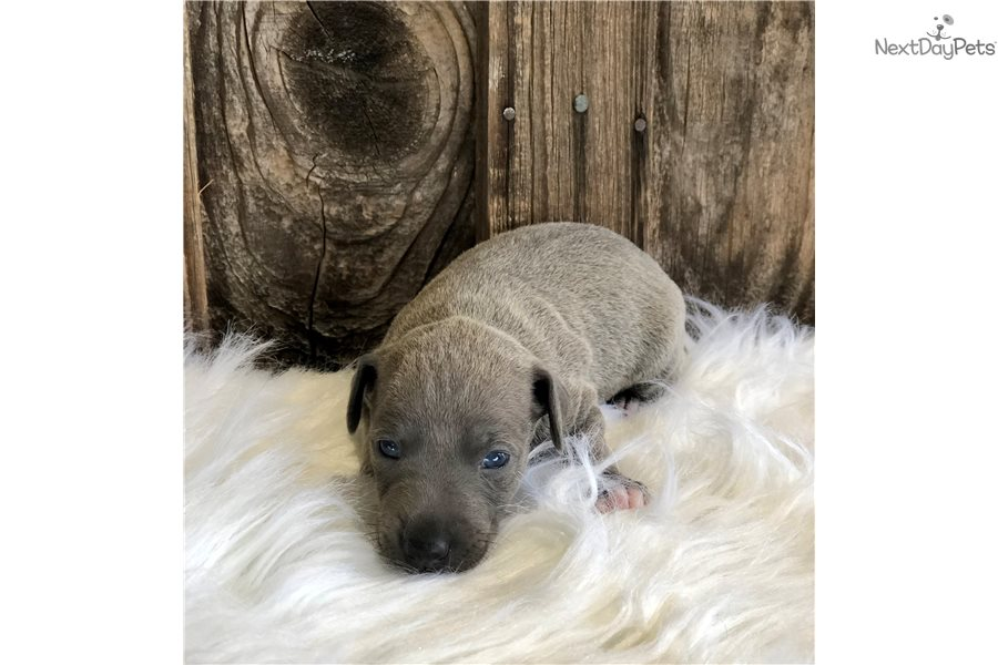 Sasha Italian Greyhound Puppy For Sale Near Dallas Fort Worth Texas 50f8cb42 60e1