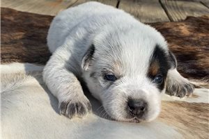 Baycee | Puppy at 2 weeks of age for sale