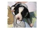 Picture of a Border Collie Puppy
