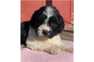 Sage | Puppy at 8 weeks of age for sale