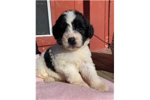 Jule | Puppy at 8 weeks of age for sale