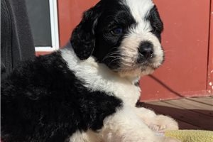 Jace | Puppy at 8 weeks of age for sale