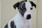 Picture of a Whippet Puppy