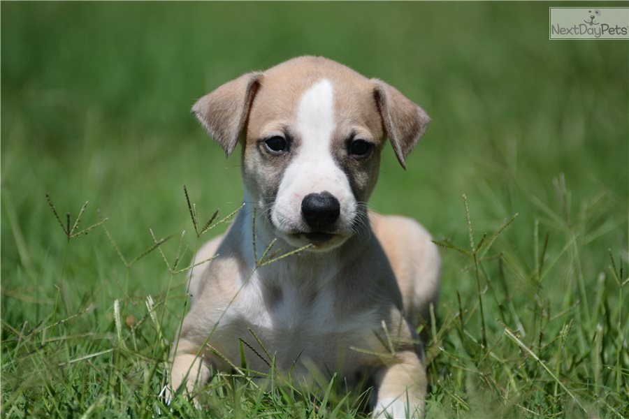 Whippet Puppies Breeders For Sale Near Me In Mississippi USA