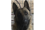 Picture of a Belgian Shepherd Malinois Puppy